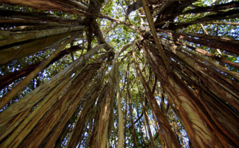 Banyan Tree grove, Seychelles