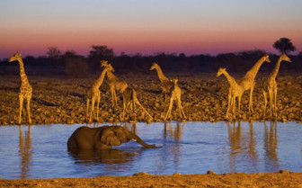 Elephant bathing and giraffes drinking in Africa