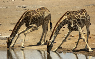 Giraffes drinking at a watering hole in Etosha