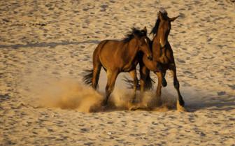 Horses playing in desert