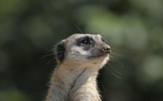Meerkat in African desert