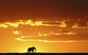 African sunset elephant