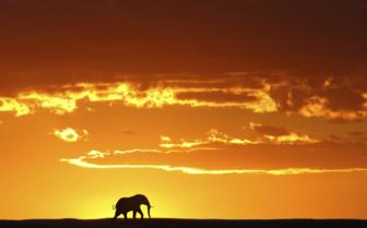 African sunset elephant