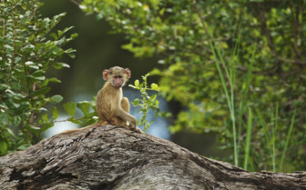 Little monkey on a rock