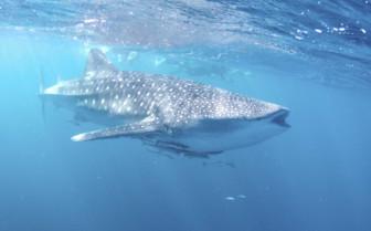 Whale Shark, Ningaloo