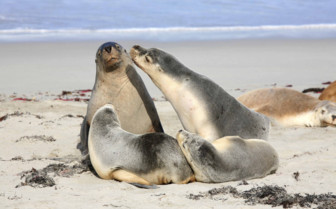 Seals on Kangaroo Island