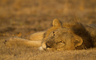 Male lion in Africa