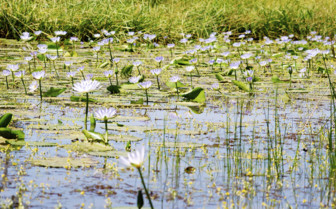 Lily pads on the Zambezi river