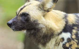 Wild dog Liuwa Plain