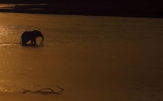 Elephant crosses Luangwa river
