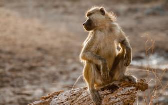 Monkey on a log