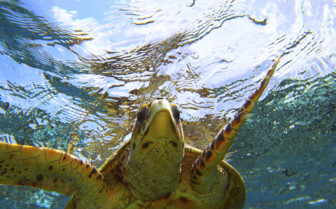 Sea turtle in the South Pacific