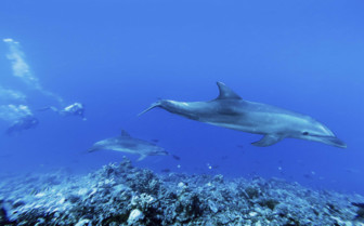 Dolphins swimming through the Tiputa Pass