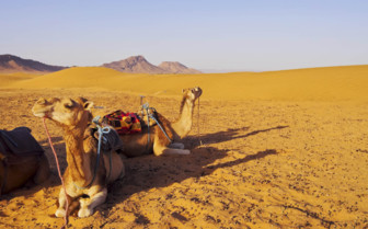 Camels in the Southern Desert