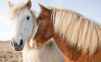 Horse friends in Iceland