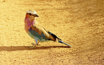 Colourful bird in Tsavo East