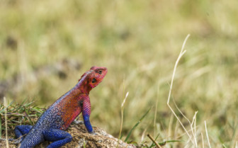 Red headed lizard