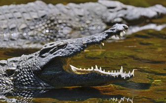 Crocodile in the Masai Mara National Park