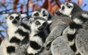 Family of Lemurs