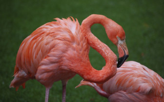 Caribbean flamingo in Turks and Caicos islands