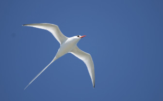 Red-billed tropic bird in Antigua