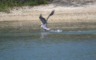 Brown pelican taking flight