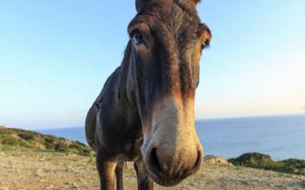 Wild donkey Cyprus