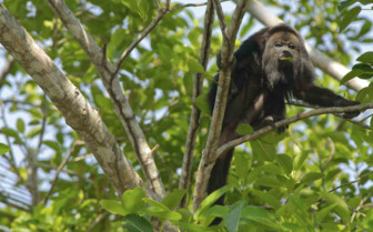 Belize Monkey