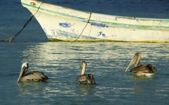Belize Pelicans in Water