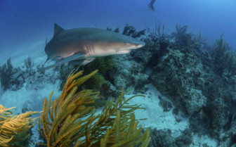 Belize Lemon Shark