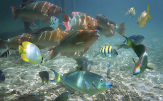 Belize Shoal Tropical Fish