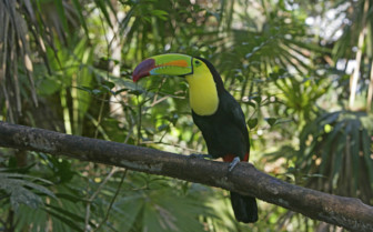 Belize Toucan