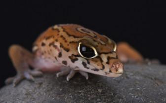 Yucatan Branded Gecko Belize