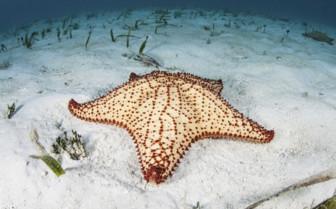 Amberges Caye Starfish Belize