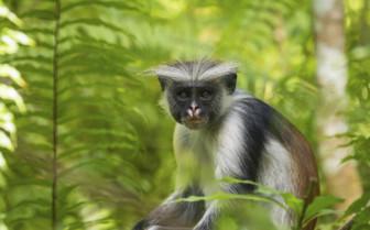 Zanzibar Monkey