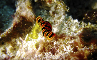 Zanzibar Nudibranch