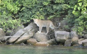 Western Tanzania Leopard