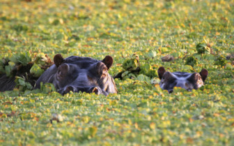 Serengeti Hippos