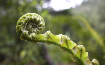 New Zealand Unfurling Fern