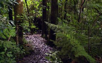 Kauri Puketi Forest Northland