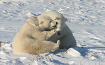 Two Polar Bears in Churchill