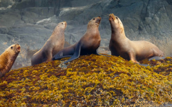 Steller Sea Lions in British Columbia