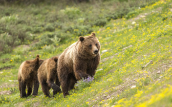 Family of Grizzly Bears