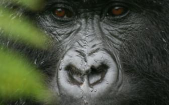 Gorilla Gazing in Rwanda