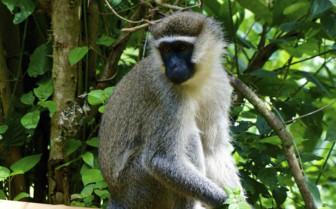 Rwanda Monkey