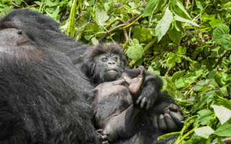 Baby Gorilla and Father in Rwanda