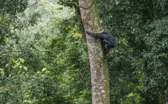 Climbing Monkey in Rwanda National Park