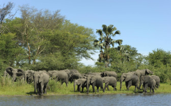 Elephants by the Watering Hole in Milawi