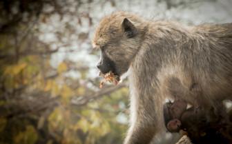 Monkey in Liwonde National Park Eating