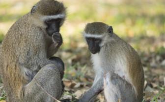 Monkeys in Liwonde National Park, Milawi